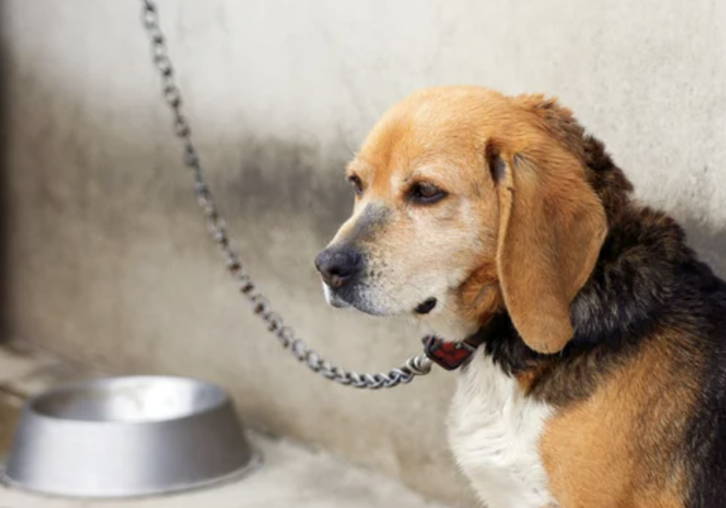 Is it Illegal to Chain Your Dog Outside? - FoMA Pets